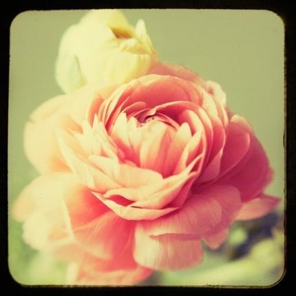 Close up shot of pink petals