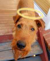 naughty dog wearing halo of innocence