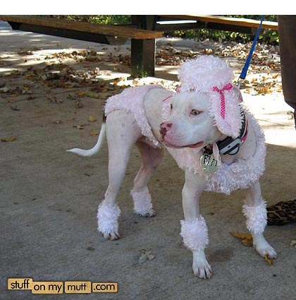 Pitbull dog dressed as poodle