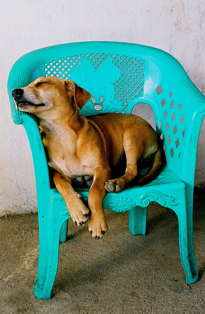 Dog asleep in plastic chair