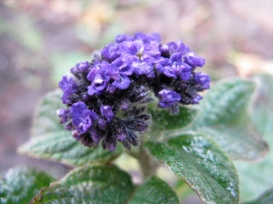 Heliotrope flower