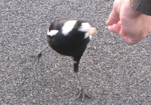 Feeding a magpie