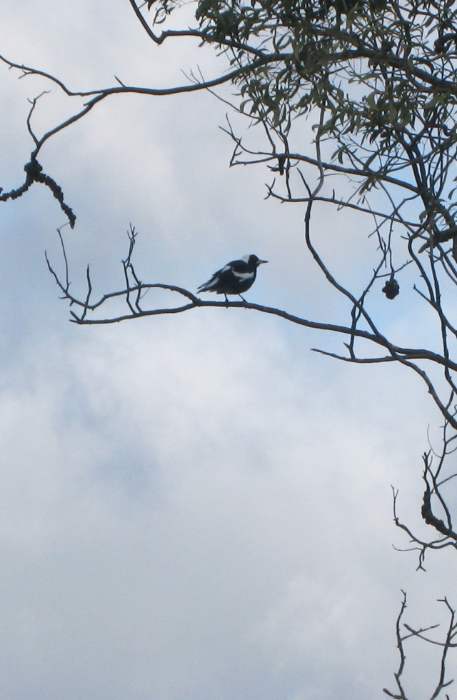 windblown baby magpie in a tree
