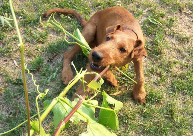 Happy puppy pulling a vine