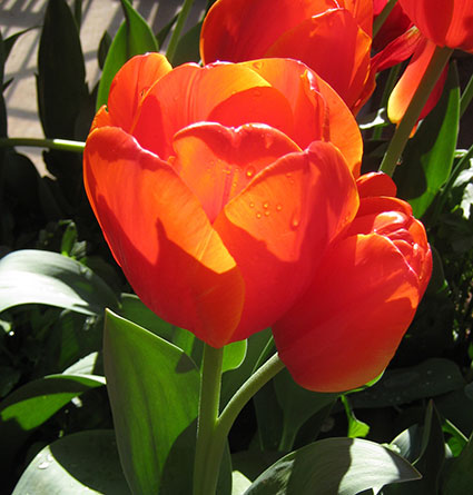 Orange tulips with the sun behind them.