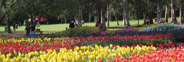 Swathes of tulips with gum trees in the background