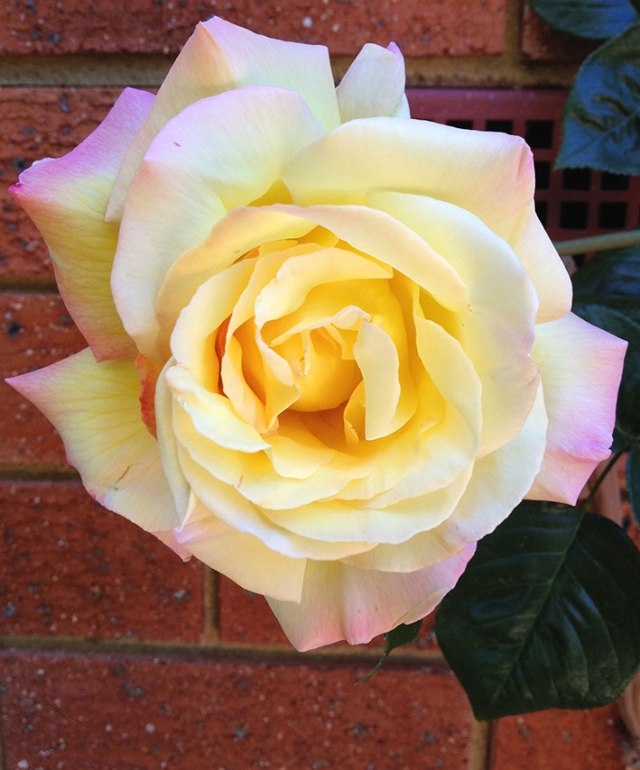 Peace rose, yellow touched with a blush of pink on outer petals