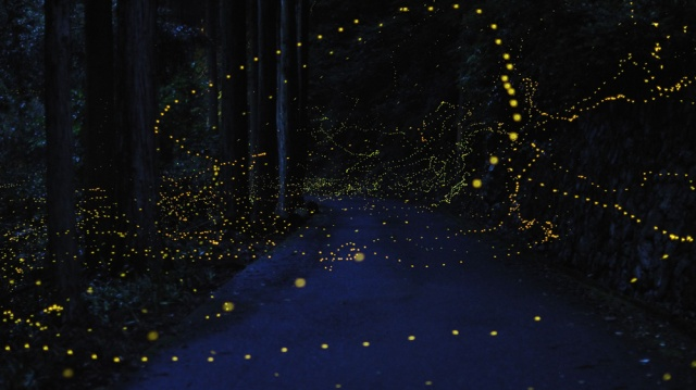 Fireflies captured on long exposure, golden lights in a dark forest
