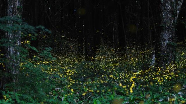 Fireflies captured on long exposure, golden lights in a dark forest