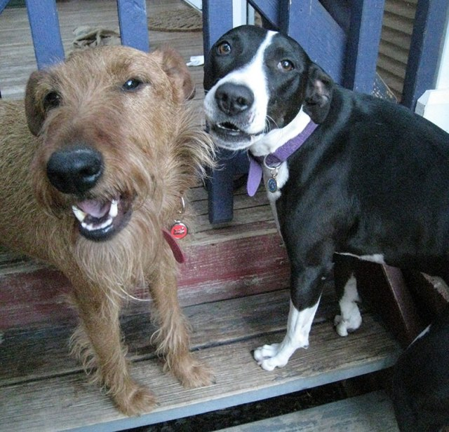 Scruffy red dog and black and white smooth and smiley dog. Best friends. Most of the time.