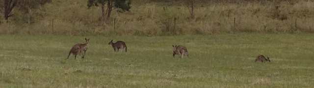 Group of Kangaroos at dusk