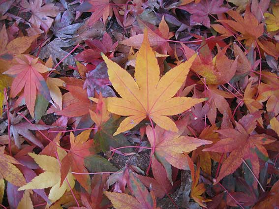 AUtumn leaves on the ground, many colours from one tree