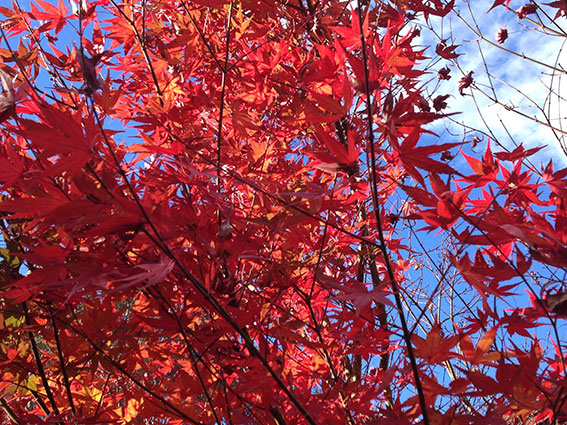 Scarlet autumn colour against the light