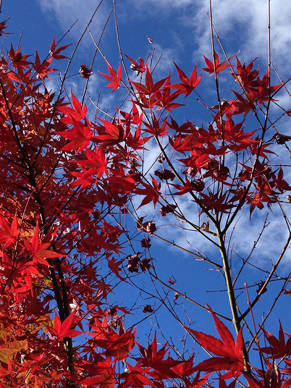 Scarlett autumn colour against a blue sky