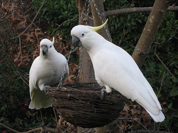 Cockatoos on bird feeder