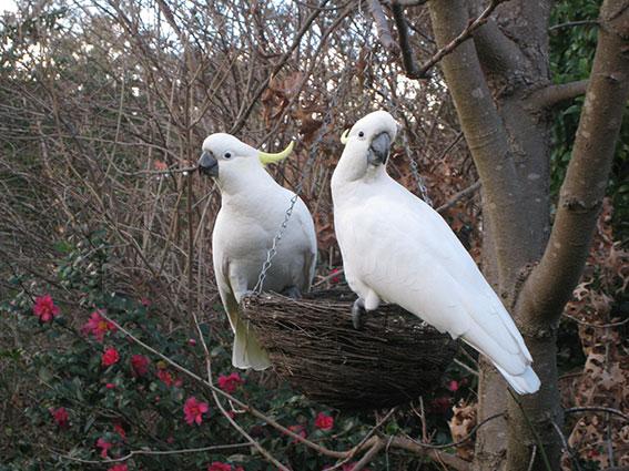 Cockatoos on bird feeder, really close!