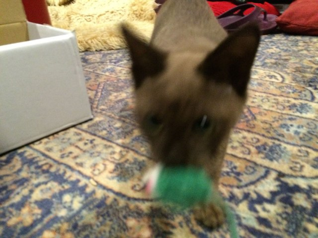 Cat fetching a toy